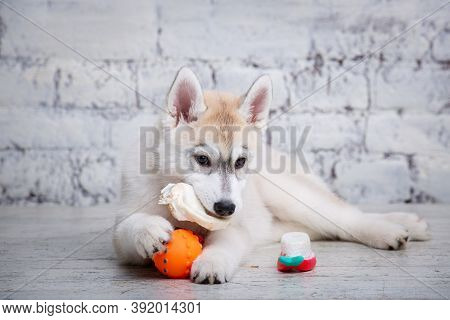 Little Siberian Husky Puppy Eats Eats Natural Delicacy Dried Beef Ear On Wooden Floor And Brick Wall