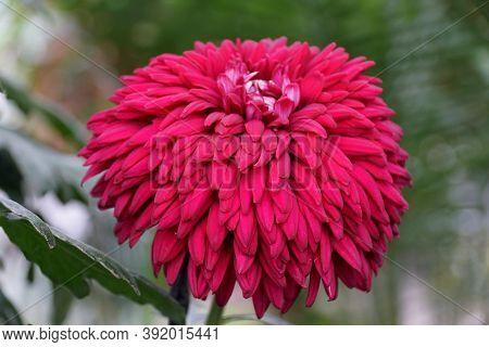 Deep Red Color Of Chrysanthemum 'black Magic'