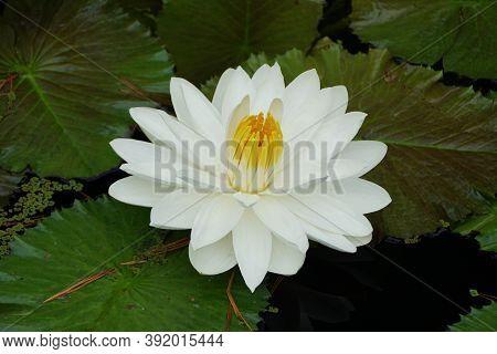 A White Tropical Night-flowering Waterlily Flower 'missouri'