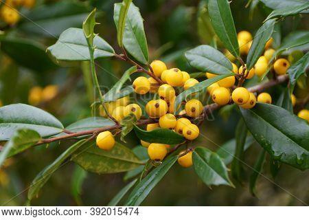 Tiny Yellow Fruits Of Foster Hybrid Holly Tree
