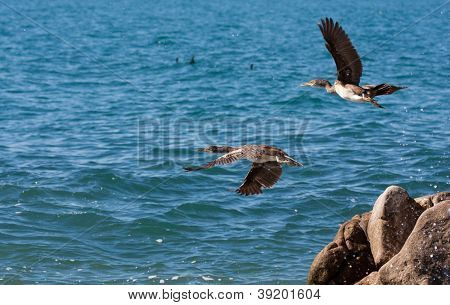 two cormorants fly over blue sea