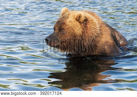 Portrait Of Kamchatka Brown Bear In River. Wild Terrible Beast Fishing Red Salmon Fish During Spawni