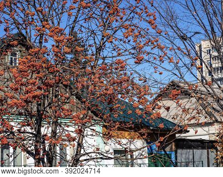 Clusters Of Red Ripe Autumn Mountain Ash On A Leafless Tree