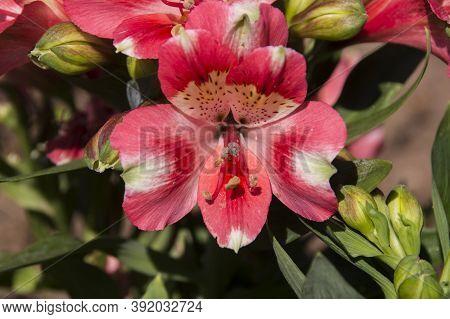 Close Up Of Cerise Alstromeria Aslo Know As Inca Lily Growing In Garden