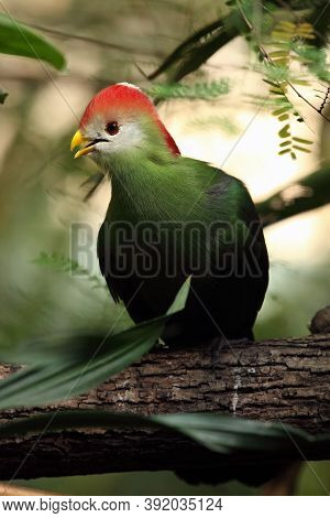 The Red-crested Turaco (tauraco Erythrolophus), Portrait With Green Background.
