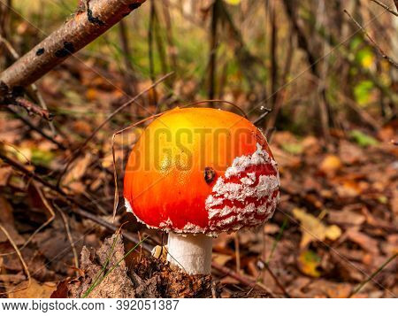 Inedible Mushroom Red Fly Agaric Growing In The Forest.