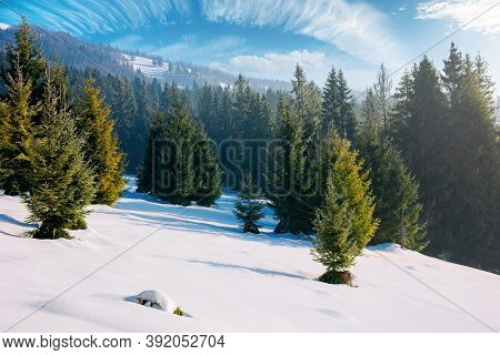 Spruce Forest On A Snow Covered Hill. Beautiful Mountain Landscape In Winter. Misty Weather With Bri