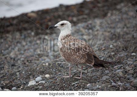 Large White Gull
