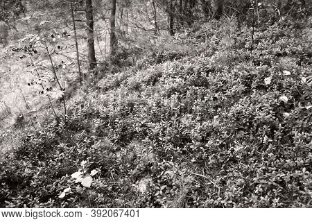 A Cowberry Glade In The Autumn In The Forest In The Evening. Ecology And Forest Ecosystem. White And