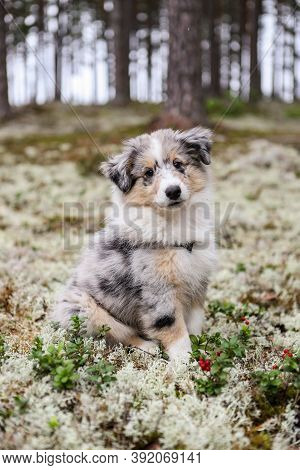 Small Beautiful Blue Merle Shetland Sheepdog Puppy Sitting In Forest Moss Near Red Berries. Photo Ta