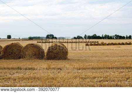 Agricultural Field Where Straw Is Laid Round Large Bales After Harvesting, Straw Rolls, Straw Bales