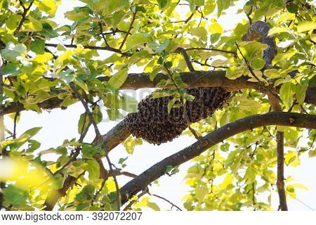 A Wild Swarm Of Bees On A Tree