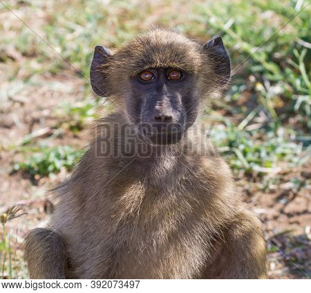 Cute Young Chacma Baboon Smiling Closeup Portrait In Kruger National Park, South Africa With Bokeh B