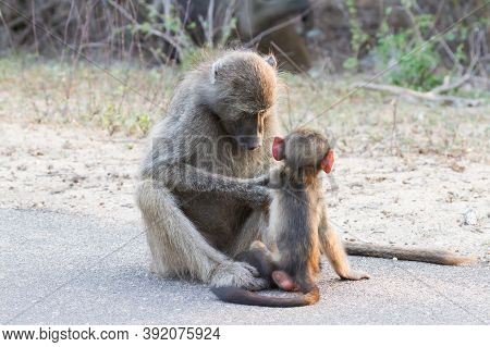 Chacma Baboon Mother Grooming And Caring For Her Infant Baby In Kruger National Park, South Africa