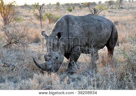 Rhinoceros In The Savannah