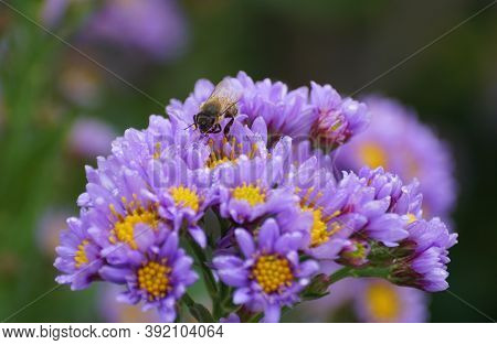 A Close Up Of A Bee Pollinating The Tatarian Aster Flowers
