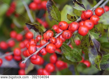 A Bunch Of Red Winterberry Holly 'red Sprite' On The Tree