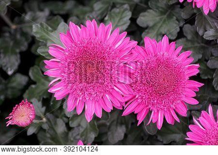 Purple Anemone Chrysanthemum Flowers At Full Bloom