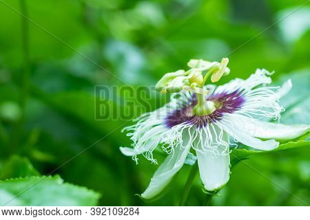 Passion Fruit Flowers, White And Purple Flowers With Green Leaves There Is A Fragrance In The Organi