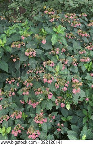 Bigleaf Hydrangea (hydrangea Macrophylla). Called French Hydrangea, Lacecap Hydrangea, Mophead Hydra