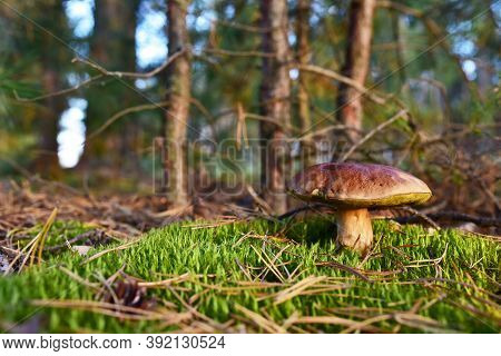 White Mushroom In The Forest Against The Background Of Green Vegetation. Awesome Boletus Grows In Wi