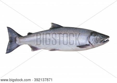 An Alaskan Silver Or Coho Salmon Isolated On A White Background
