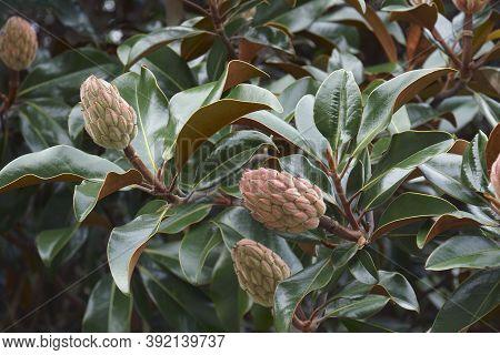 Southern Magnolia (magnolia Grandiflora). Called Evegreen Magnolia, Bull Bay, Bullbay Magnolia, Laur
