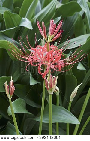 Red Spider Lily (lycoris Radiata). Called Surprise Lily, Hell Flower, Red Magic Lily And Equinox Flo