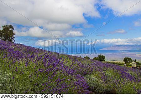 A Lavender Field On Maui