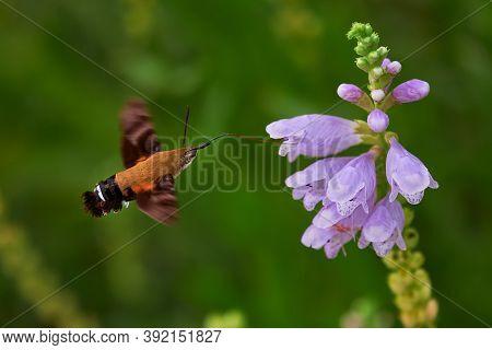 Macroglossum Stellatarum Eating From A Digitalis Purpurea While Flying
