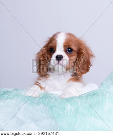 Closeup Portrait Of Cavalier King Charles Spaniel Puppy In Green Organza Looking Surprised On White