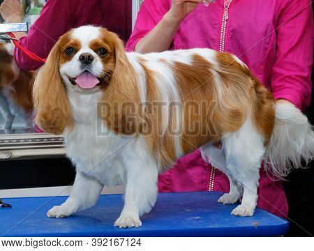 Cavalier King Charles Spaniel Dog Stands On A Grooming Table And Shows Off His Hairstyle After Visit