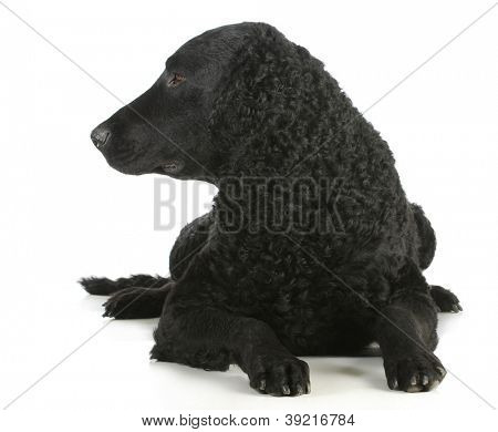 curly coated retriever laying down looking to the side on white background