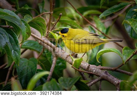 Wilson's Warbler (cardellina Pusilla) Is A Small New World American Warbler, Greenish Above And Yell