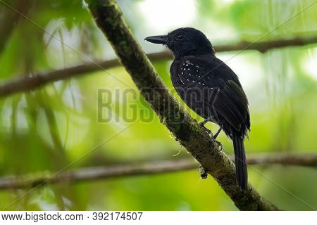 Black-hooded Antshrike - Thamnophilus Bridgesi Species Of Bird Family Thamnophilidae, Found In Costa
