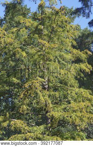 Bald Cypress (taxodium Distichum). Called Southern Cypress, White Cypress, Tidewater Red Cypress, Gu