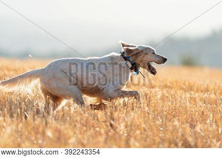 Pointer Pedigree Dog Running With Gps Collar