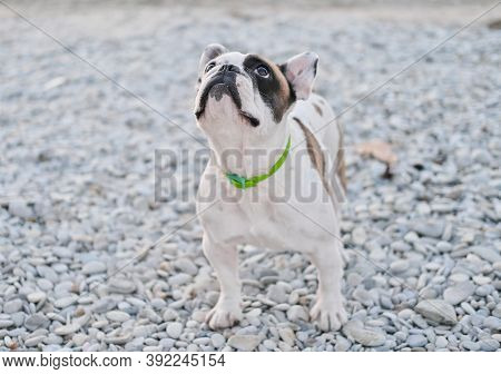 Portrait Of A French Bulldog Asking For A Treat On A Pebble Beach. Dog Love And Friendship. Cute Dog