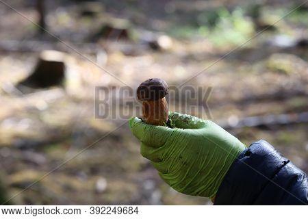 Boletus In The Hands Of A Mushroom Picker