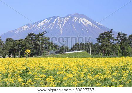 Mt. Iwate And Rape Field, Canola Crops