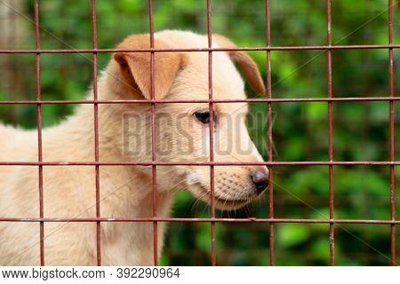 Cream Color Cute Puppy In The Cage