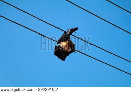 Bat Died Due To Electrical Shock Hanging In The Electric Line