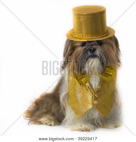 Shih Tzu In A Gold Fancy Costume