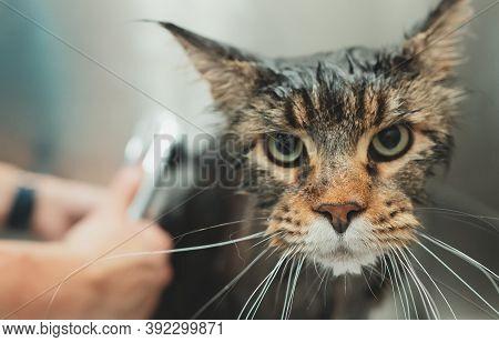 Woman Washing Cat In Grooming Salon. Cat Bathing.