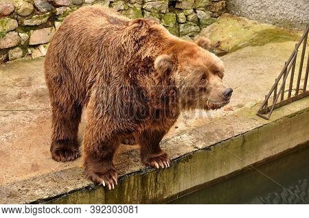 Grizzly Brown Bear Looking At People In Zoo