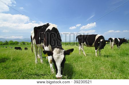 Cow And  Blue  Sky   In Field