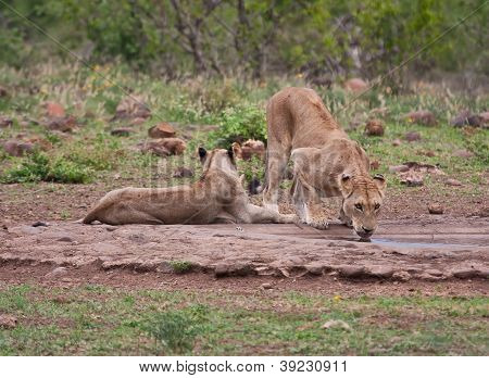 Lioness Drinking Water In Nature