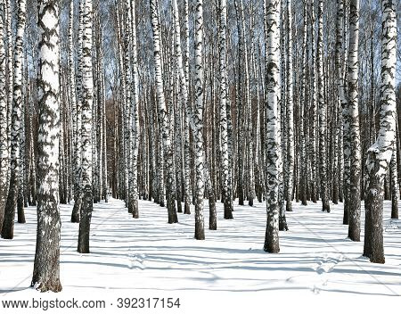 Birch Forest In Sunny Spring Weather In April
