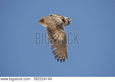 Cape Eagle Owl Bubo Capensis, Adult In Flight Against Blue Sky
