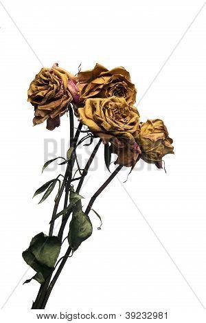 Dead Long Stem Roses